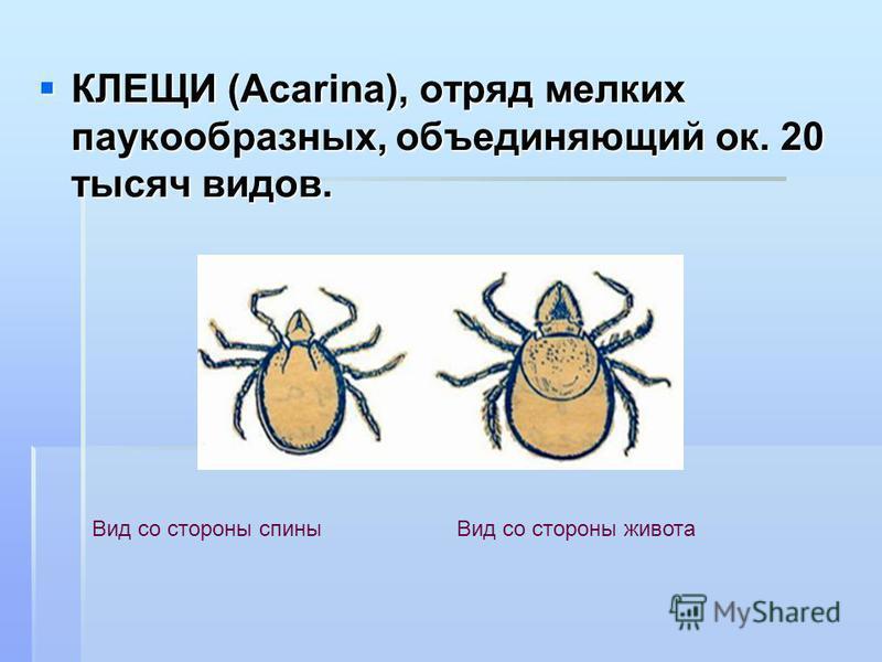 КЛЕЩИ (Acarina), отряд мелких паукообразных, объединяющий ок. 20 тысяч видов. КЛЕЩИ (Acarina), отряд мелких паукообразных, объединяющий ок. 20 тысяч видов. Вид со стороны спины Вид со стороны живота