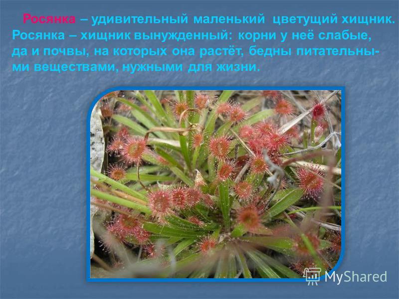 Росянка – удивительный маленький цветущий хищник. Росянка – хищник вынужденный: корни у неё слабые, да и почвы, на которых она растёт, бедны питательны- ми веществами, нужными для жизни.