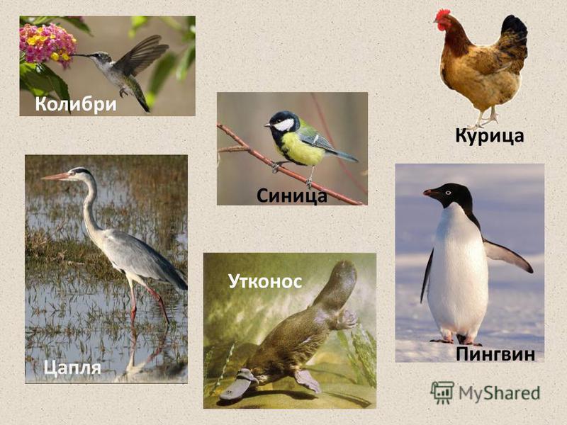 Утконос Пингвин Синица Курица Колибри Цапля