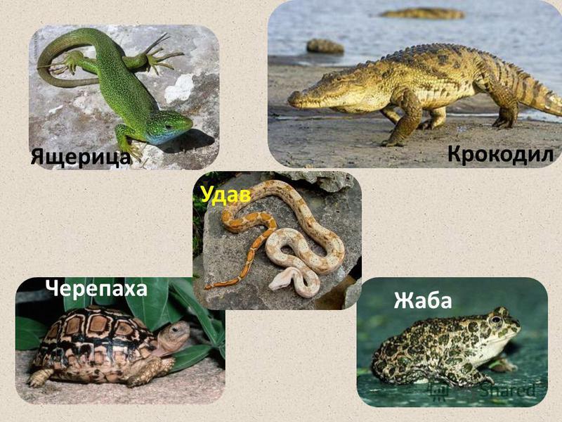 Черепаха Крокодил Жаба Ящерица Удав