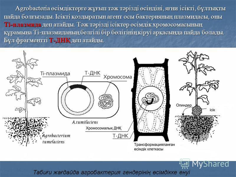 Agrobacteria өсімдіктерге жұғып тәж тәрізді өсіндіні, яғни ісікті, бұлтықты пайда болғызады. Ісікті қоздыратын агент осы бактерияның плазмидасы, оны Ti-плазмида деп атайды. Тәж тәрізді ісіктер өсімдік хромосомасының құрамына Ti-плазмиданың белгілі бі