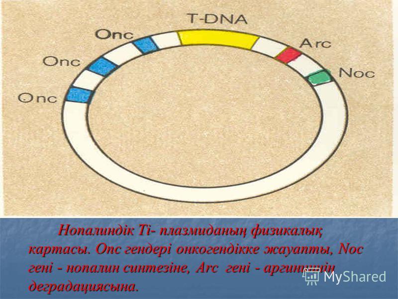 Нопалиндік Ti- плазмиданың физикалық картасы. Onc гендері онкогендікке жауапты, Noc гені - нопалин синтезіне, Arc гені - аргининнің деградациясына. Нопалиндік Ti- плазмиданың физикалық картасы. Onc гендері онкогендікке жауапты, Noc гені - нопалин син