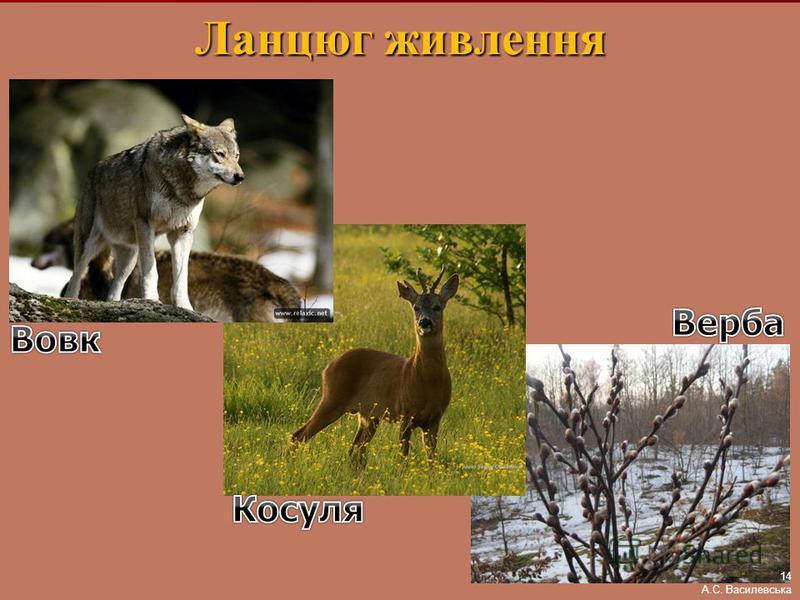 Ланцюг живлення 14 А.С. Василевська
