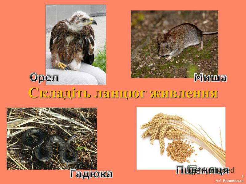Складіть ланцюг живлення 9 А.С. Василевська
