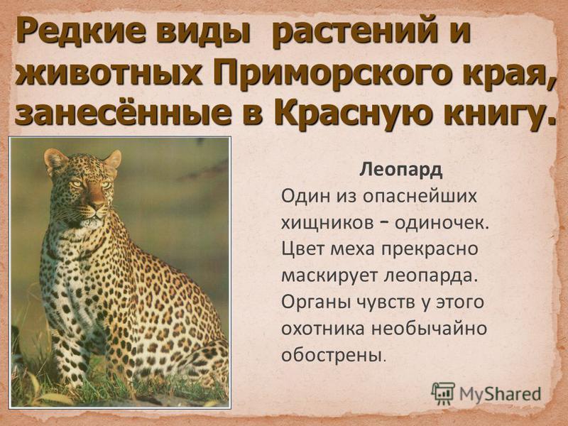 Редкие виды растений и животных Приморского края, занесённые в Красную книгу. Леопард Один из опаснейших хищников – одиночек. Цвет меха прекрасно маскирует леопарда. Органы чувств у этого охотника необычайно обострены.