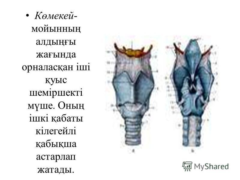 Көмекей- мойынның алдыңғы жағында орналасқан іші қуыс шеміршекті мүше. Оның ішкі қабаты кілегейлі қабықша астарлап жатады.