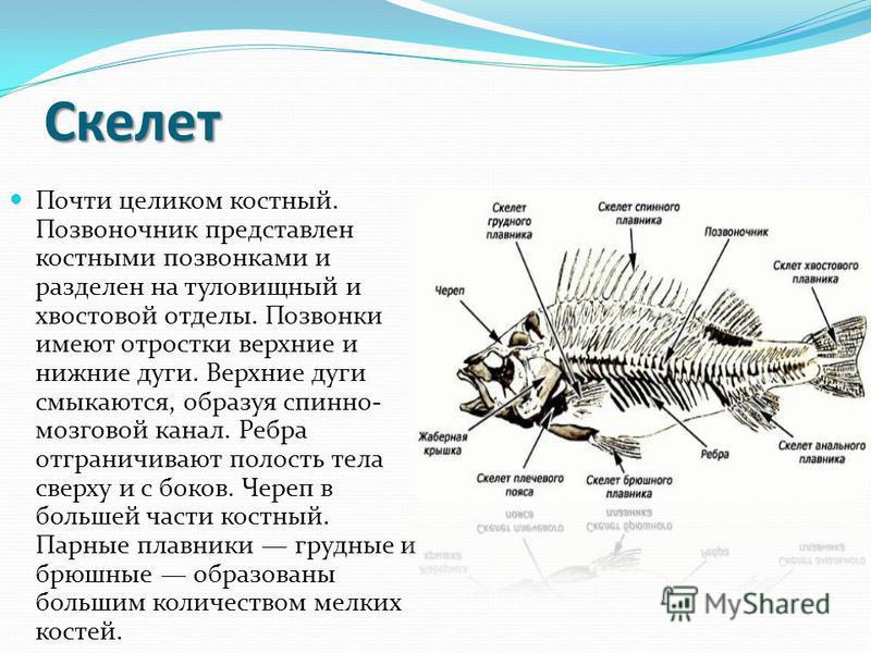 Мышечная система Сегментирована и представлена Z-образными мышцами, разделенными соединительнотканными перегородками.