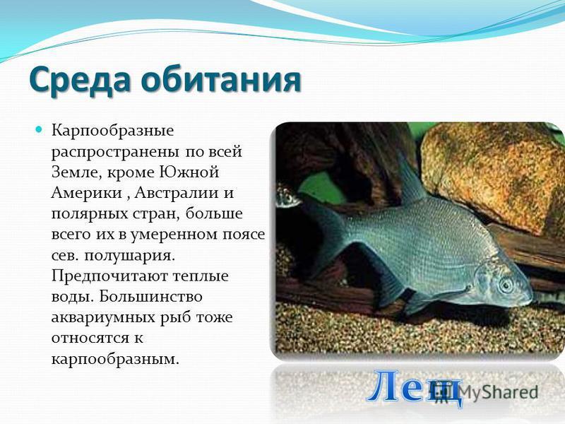 Характерные черты Карпообразные рыбы внешне очень похожи на сельдеобразных, однако у них на боках тела имеется полоса из пор, пронизывающих чешую, каналов боковой линии. Имеется у карпообразных и своеобразный орган, служащий для восприятия давления о