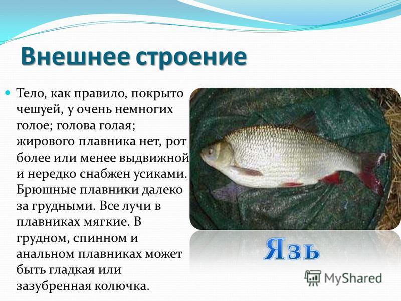 Среда обитания Карпообразные распространены по всей Земле, кроме Южной Америки, Австралии и полярных стран, больше всего их в умеренном поясе сев. полушария. Предпочитают теплые воды. Большинство аквариумных рыб тоже относятся к карпообразным.