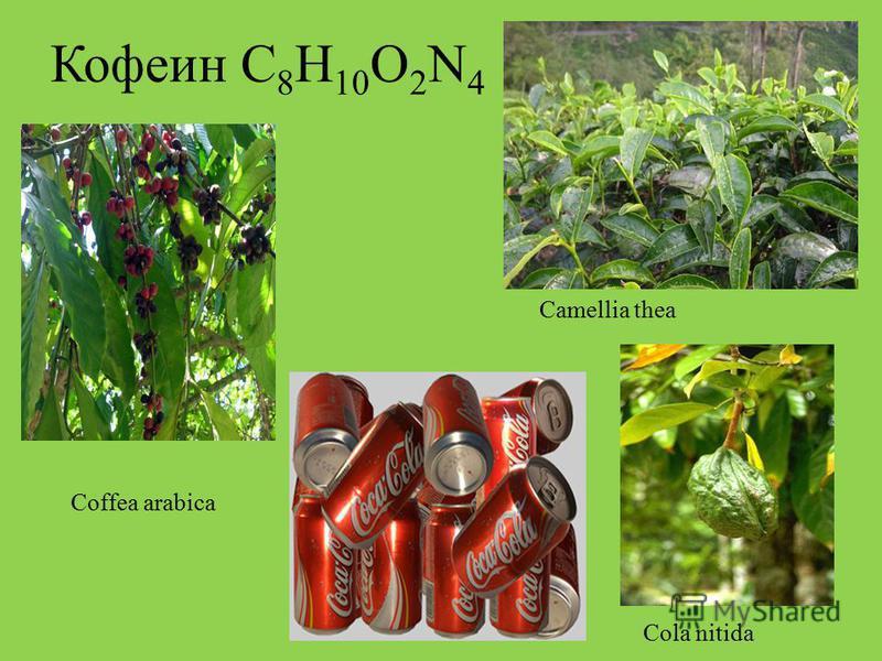 Кофеин С 8 Н 10 О 2 N 4 Cola nitida Coffea arabica Camellia thea