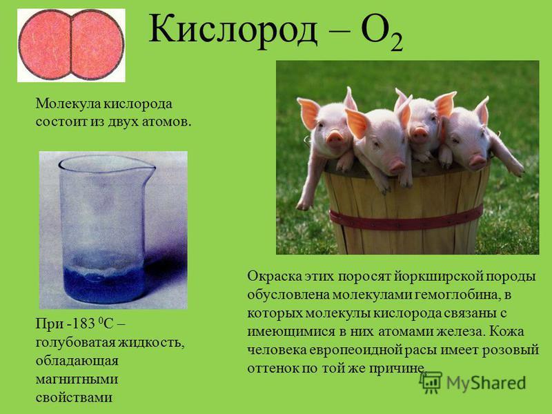 Кислород – О 2 Молекула кислорода состоит из двух атомов. При -183 0 С – голубоватая жидкость, обладающая магнитными свойствами Окраска этих поросят йоркширской породы обусловлена молекулами гемоглобина, в которых молекулы кислорода связаны с имеющим