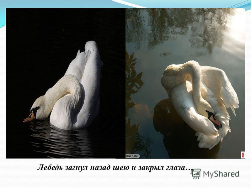 Лебедь загнул назад шею и закрыл глаза…