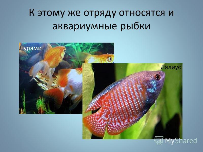 К этому же отряду относятся и аквариумные рыбки Гурами Лялиус