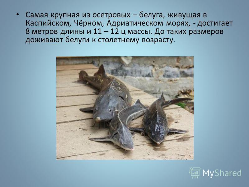 Самая крупная из осетровых – белуга, живущая в Каспийском, Чёрном, Адриатическом морях, - достигает 8 метров длины и 11 – 12 ц массы. До таких размеров доживают белуги к столетнему возрасту.