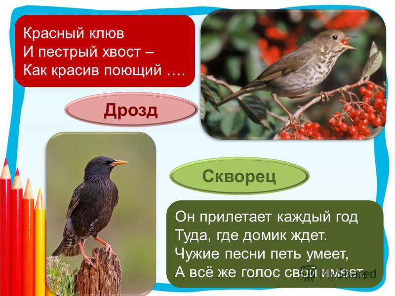Красный клюв И пестрый хвост – Как красив поющий …. Дрозд Он прилетает каждый год Туда, где домик ждет. Чужие песни петь умеет, А всё же голос свой имеет. Скворец