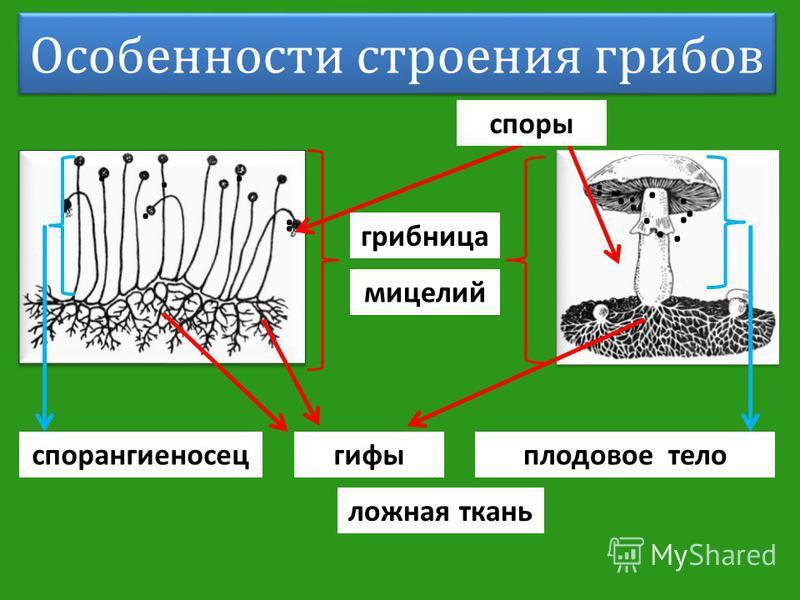 Особенности строения грибов грибница мицелий гифы плодовое тело...................... споры спорангиеносец ложная ткань