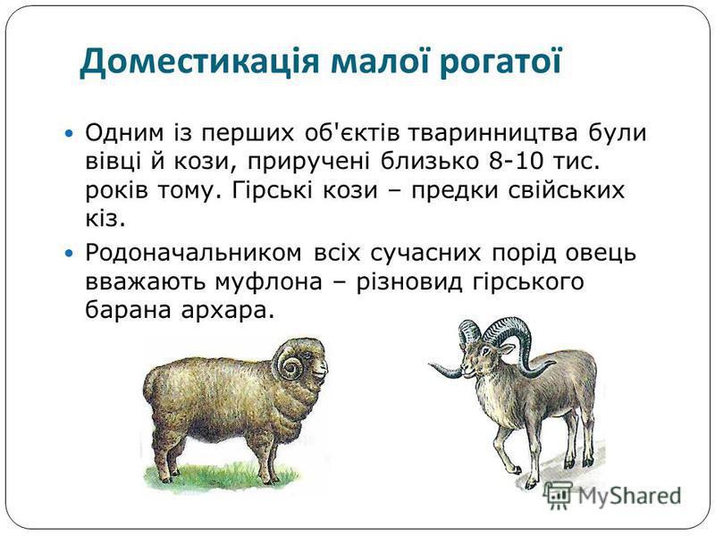 Одним із перших об'єктів тваринництва були вівці й кози, приручені близько 8-10 тис. років тому. Гірські кози – предки свійських кіз. Родоначальником всіх сучасних порід овець вважають муфлона – різновид гірського барана архара. Доместикація малої ро