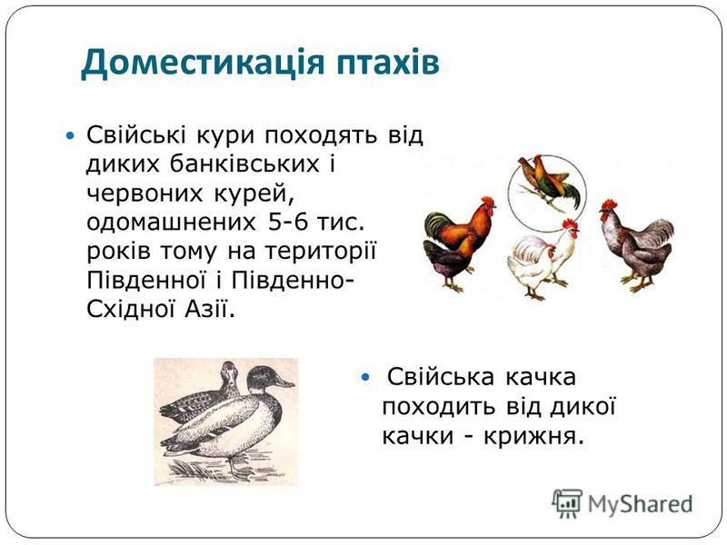 Свійські кури походять від диких банківських і червоних курей, одомашнених 5-6 тис. років тому на території Південної і Південно- Східної Азії. Доместикація птахів Свійська качка походить від дикої качки - крижня.