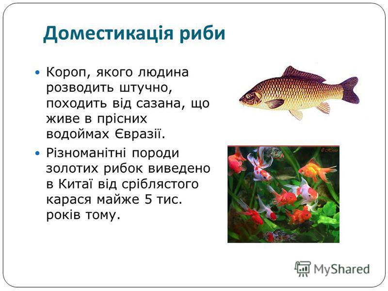 Короп, якого людина розводить штучно, походить від сазана, що живе в прісних водоймах Євразії. Різноманітні породи золотих рибок виведено в Китаї від сріблястого карася майже 5 тис. років тому. Доместикація риби