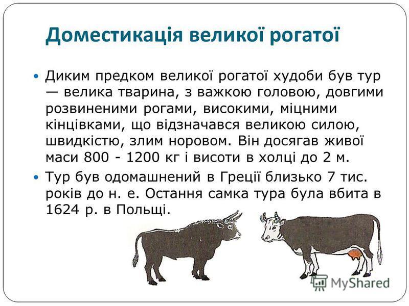 Диким предком великої рогатої худоби був тур велика тварина, з важкою головою, довгими розвиненими рогами, високими, міцними кінцівками, що відзначався великою силою, швидкістю, злим норовом. Він досягав живої маси 800 - 1200 кг і висоти в холці до 2