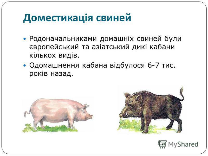 Родоначальниками домашніх свиней були європейський та азіатський дикі кабани кількох видів. Одомашнення кабана відбулося 6-7 тис. років назад. Доместикація свиней