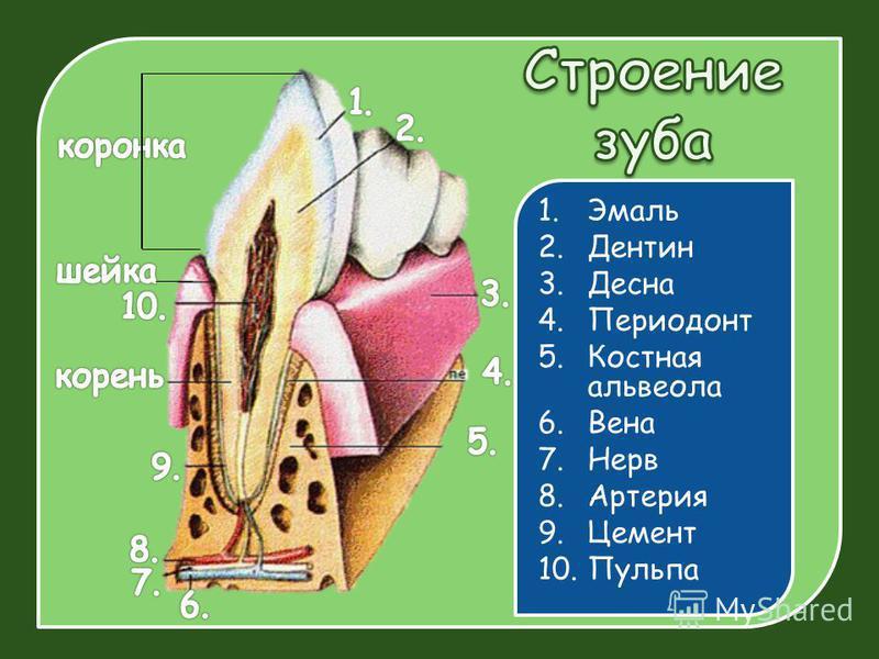 1. Эмаль 2. Дентин 3. Десна 4. Периодонт 5. Костная альвеола 6. Вена 7. Нерв 8. Артерия 9. Цемент 10.Пульпа