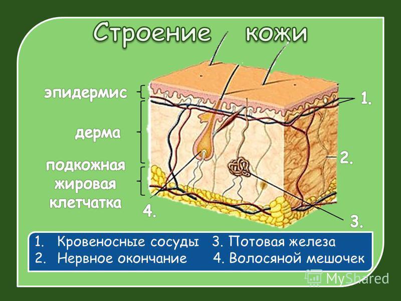 1. Кровеносные сосуды 3. Потовая железа 2. Нервное окончание 4. Волосяной мешочек
