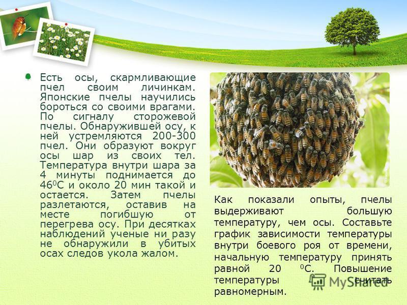 Есть осы, скармливающие пчел своим личинкам. Японские пчелы научились бороться со своими врагами. По сигналу сторожевой пчелы. Обнаружившей осу, к ней устремляются 200-300 пчел. Они образуют вокруг осы шар из своих тел. Температура внутри шара за 4 м