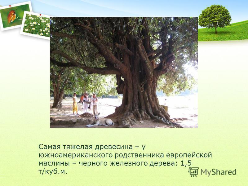 Самая тяжелая древесина – у южноамериканского родственника европейской маслины – черного железного дерева: 1,5 т/куб.м.