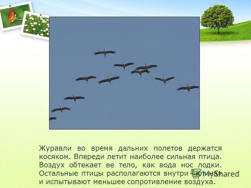 Журавли во время дальних полетов держатся косяком. Впереди летит наиболее сильная птица. Воздух обтекает ее тело, как вода нос лодки. Остальные птицы располагаются внутри «клина» и испытывают меньшее сопротивление воздуха.