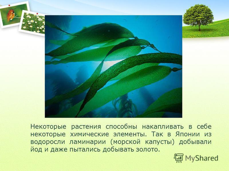 Некоторые растения способны накапливать в себе некоторые химические элементы. Так в Японии из водоросли ламинарии (морской капусты) добывали йод и даже пытались добывать золото.