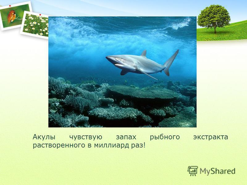 Акулы чувствую запах рыбного экстракта растворенного в миллиард раз!