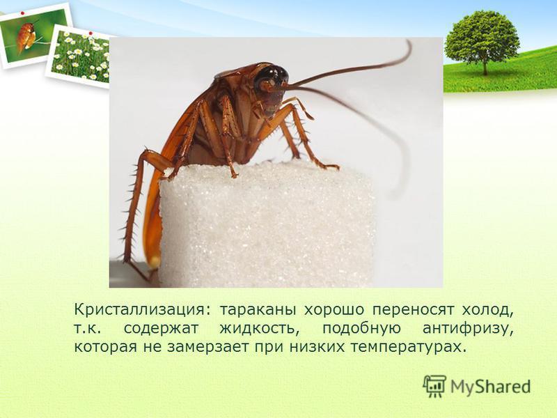Кристаллизация: тараканы хорошо переносят холод, т.к. содержат жидкость, подобную антифризу, которая не замерзает при низких температурах.