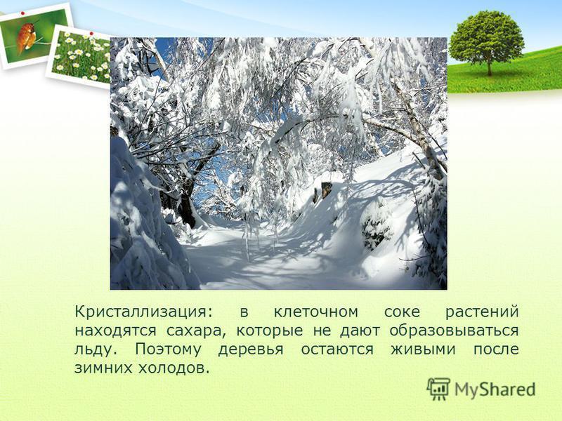 Кристаллизация: в клеточном соке растений находятся сахара, которые не дают образовываться льду. Поэтому деревья остаются живыми после зимних холодов.