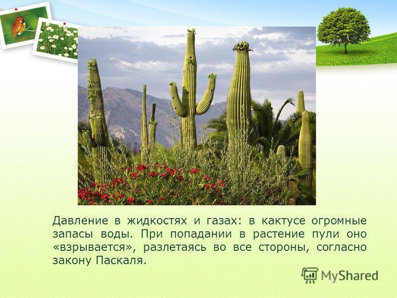 Давление в жидкостях и газах: в кактусе огромные запасы воды. При попадании в растение пули оно «взрывается», разлетаясь во все стороны, согласно закону Паскаля.