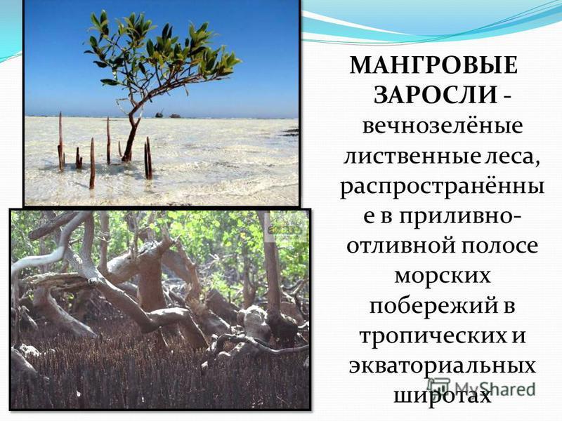 МАНГРОВЫЕ ЗАРОСЛИ - вечнозелёные лиственные леса, распространённы е в приливно- отливной полосе морских побережий в тропических и экваториальных широтах