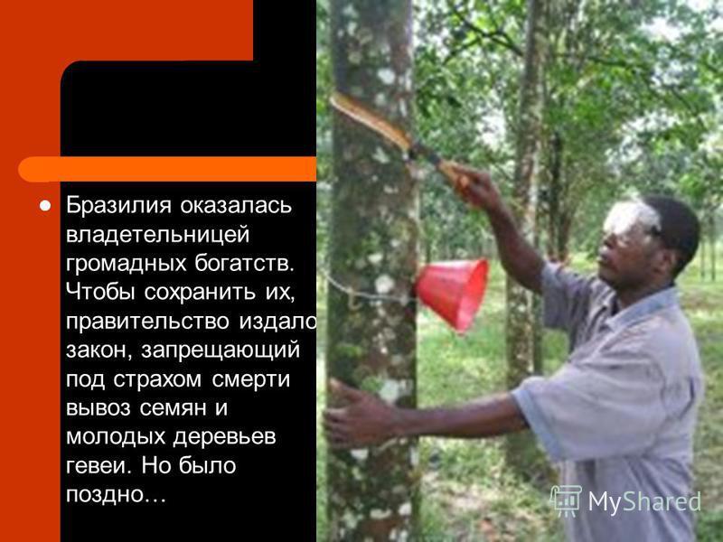 Бразилия оказалась владетельницей громадных богатств. Чтобы сохранить их, правительство издало закон, запрещающий под страхом смерти вывоз семян и молодых деревьев гевеи. Но было поздно…