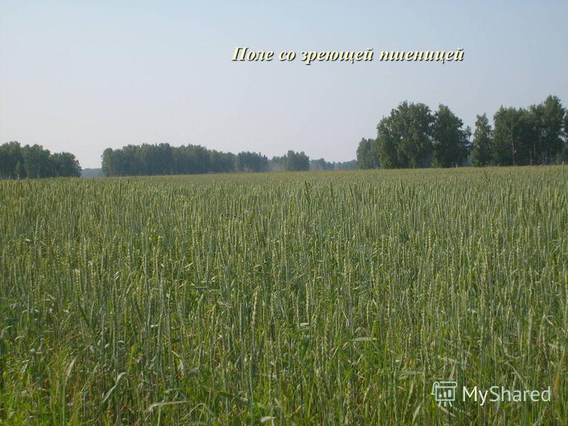 Поле со зреющей пшеницей