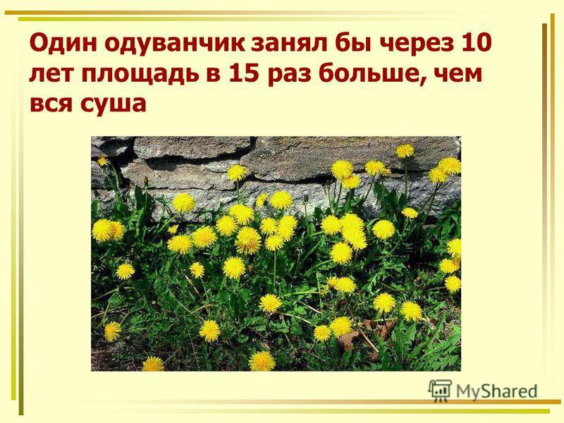 Один одуванчик занял бы через 10 лет площадь в 15 раз больше, чем вся суша