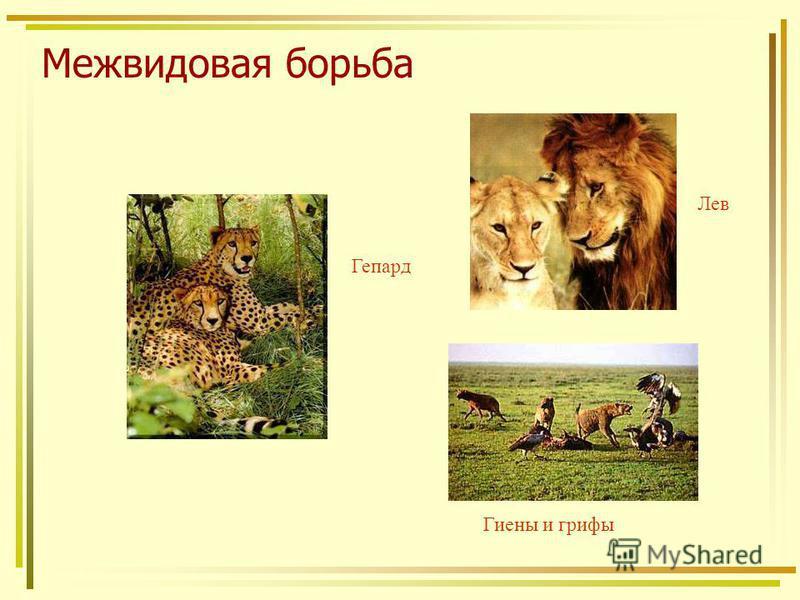Межвидовая борьба Гепард Лев Гиены и грифы