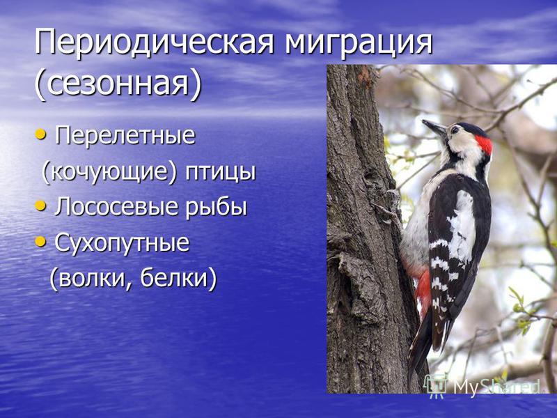 Периодическая миграция (сезонная) Перелетные Перелетные (кочующие) птицы (кочующие) птицы Лососевые рыбы Лососевые рыбы Сухопутные Сухопутные (волки, белки) (волки, белки)