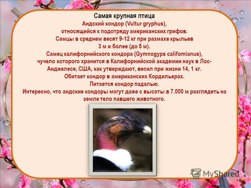 Самая крупная птица Андский кондор (Vultur gryphus), относящийся к подотряду американских грифов. Самцы в среднем весят 9-12 кг при размахе крыльев 3 м и более (до 5 м). Самец калифорнийского кондора (Gymnogyps califomianus), чучело которого хранится