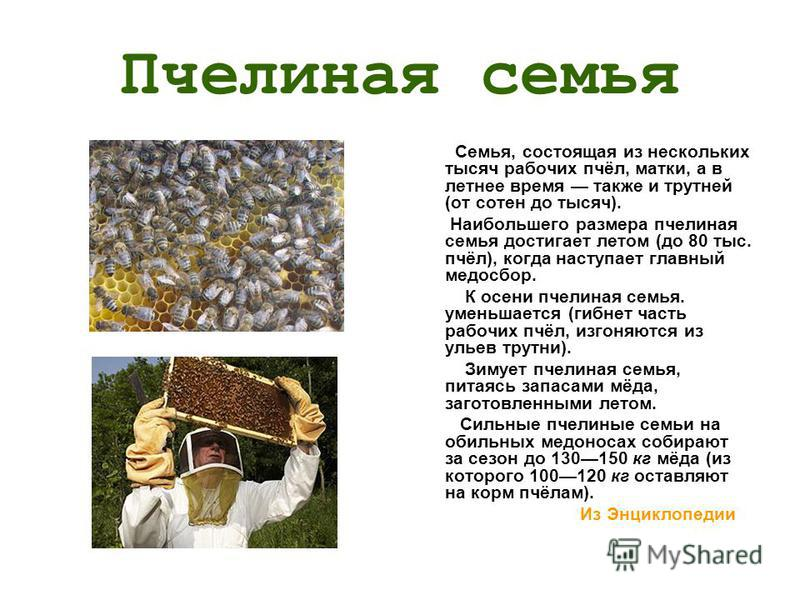 Пчелиная семья Семья, состоящая из нескольких тысяч рабочих пчёл, матки, а в летнее время также и трутней (от сотен до тысяч). Наибольшего размера пчелиная семья достигает летом (до 80 тыс. пчёл), когда наступает главный медосбор. К осени пчелиная се