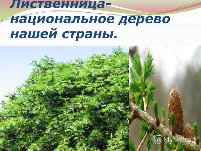 Лиственница- национальное дерево нашей страны.