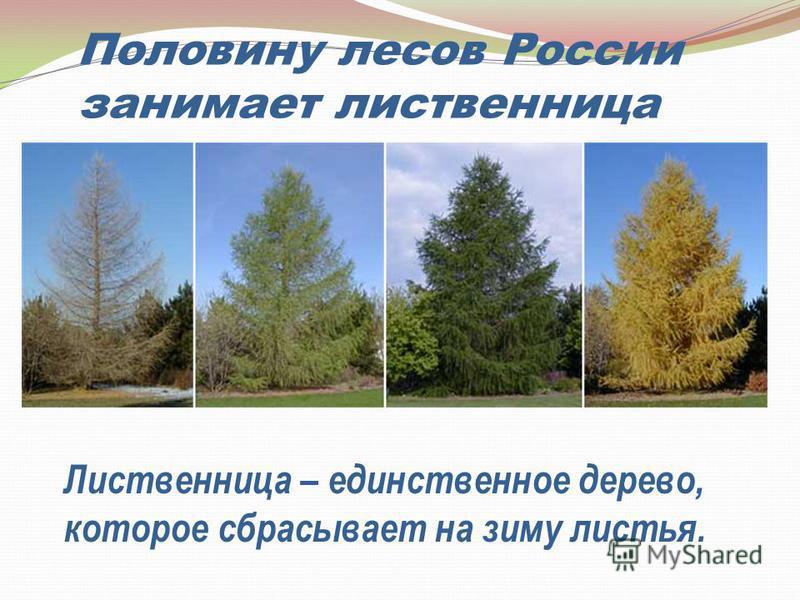 Половину лесов России занимает лиственница Лиственница – единственное дерево, которое сбрасывает на зиму листья.