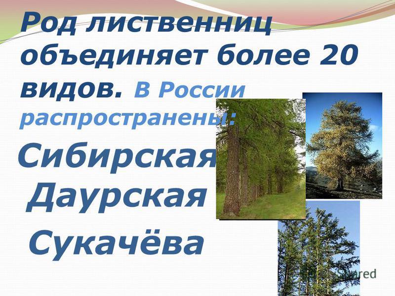 Сибирская Даурская Сукачёва Род лиственниц объединяет более 20 видов. В России распространены: