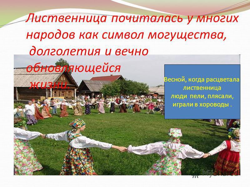 Весной, когда расцветала лиственница люди пели, плясали, играли в хороводы. Лиственница почиталась у многих народов как символ могущества, долголетия и вечно обновляющейся жизни.
