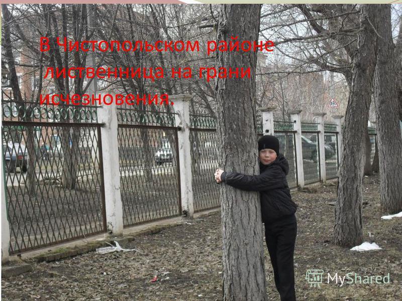 В Чистопольском районе лиственница на грани исчезновения.