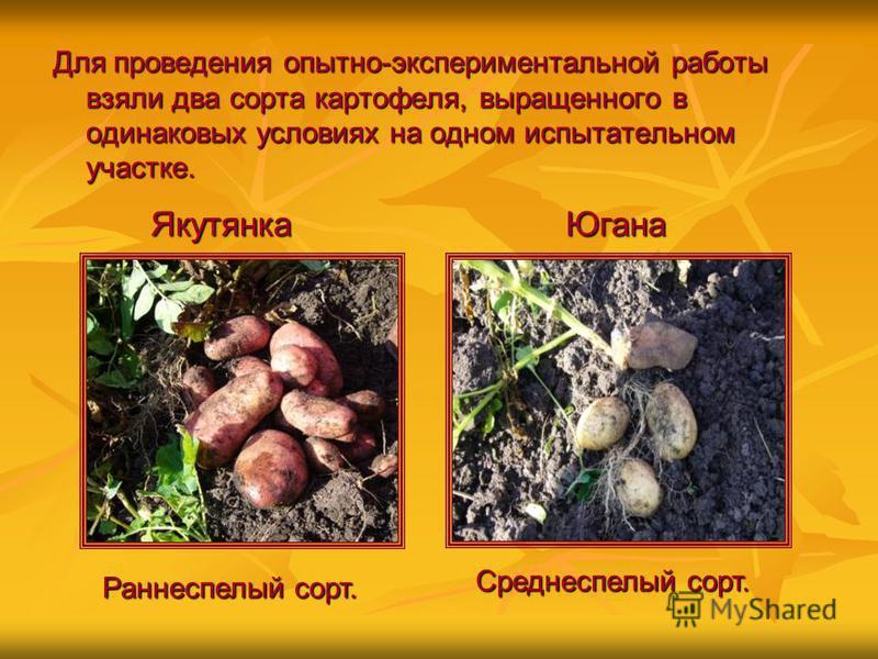 Для проведения опытно-экспериментальной работы взяли два сорта картофеля, выращенного в одинаковых условиях на одном испытательном участке. Якутянка Югана Раннеспелый сорт. Среднеспелый сорт.