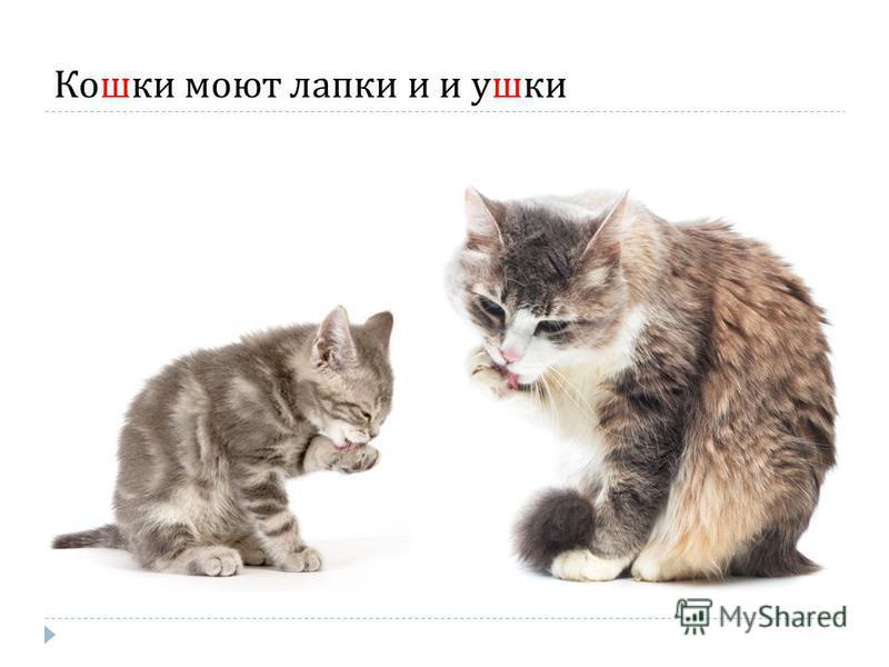 Кошки моют лапки и и ушки